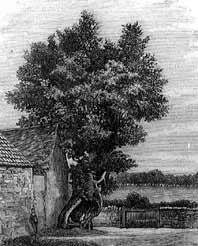 Churchyard Elm
