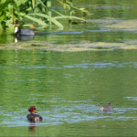 Little grebe + chick with coot,