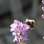 Bumble bee,