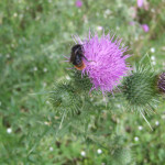 Red tailed bumble bee on Scotch thistle