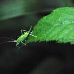 Southern oak bush cricket,