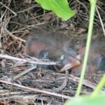 Newly hatched blackbirds