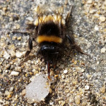 Common Bumble Bee