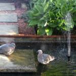 Woodpigeon squabs