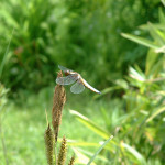 Broad-bodied chaser dragonfly (male)