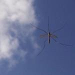 5-legged crane fly