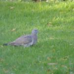 Stock dove (juvenile)