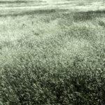 Sea grass?