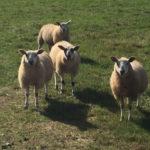 Shearing Town