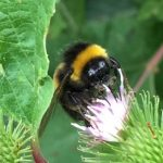 Bee - pollinator at work