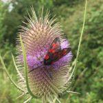 Burnet Moth on Thistle