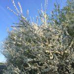 Whitethorn bush