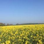 Yellow Crop/Blue Sky