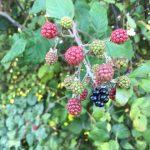 Nature's bounty - blackberries