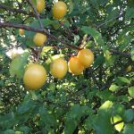 Nature's bounty - Mirabelle plums