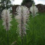 Plantain flower spikes