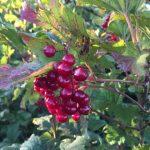 Nature's bounty - guelder-rose