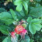 Nature's bounty - rosehips