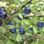 Nature's bounty - sloes