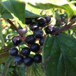 Nature's bounty - dogwood