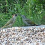 Green Woodpecker with fledgling