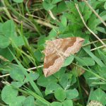 Shaded broadbar moth