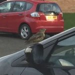 Mistle thrush about to attack car windscreen