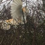 Barn Owl trapped in hedgerow
