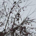 Fieldfares berry hunting