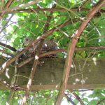 Collared dove's nest