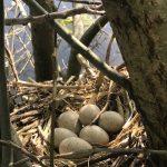 Moorhen's nest
