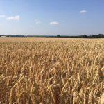 Looking across the corn fields towards MK