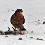 Male sparrowhawk