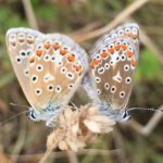 Pair of common blue butterflies