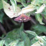 Day-flying micro-moth, Pyrausta purpuralis, on Majoram