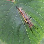 The Vapourer caterpillar