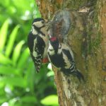 Great spotted woodpecker teaching youngster