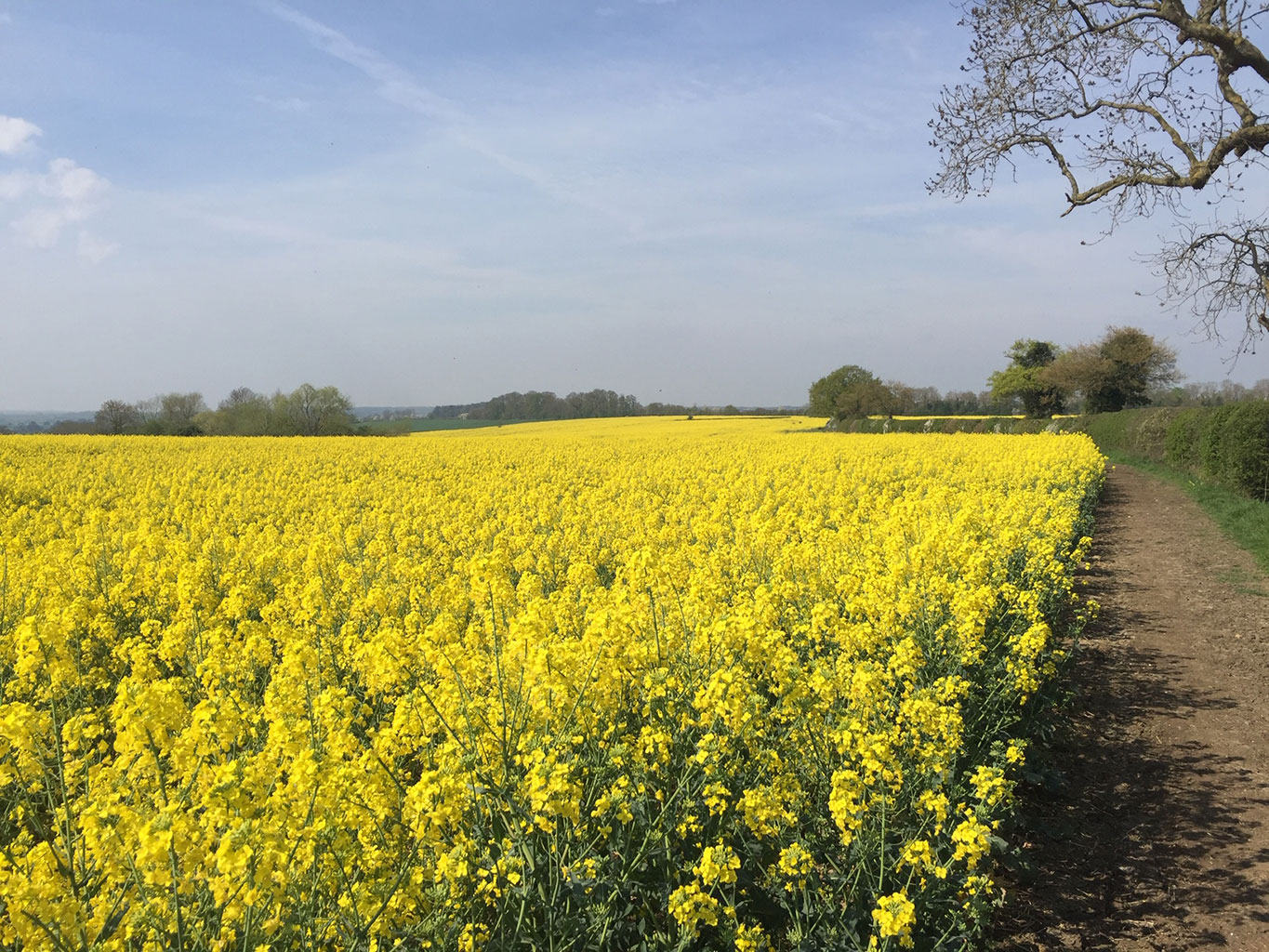 Sea of yellow under a blue sky