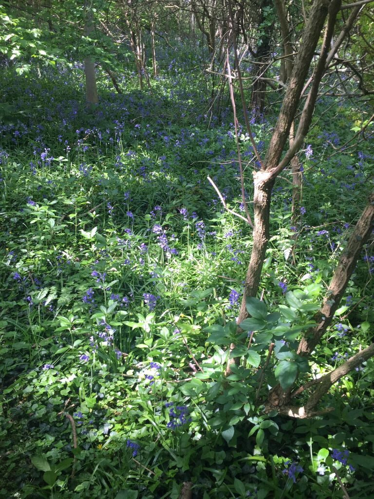 Bluebells, other side of bypass, 27.04.20, 1220