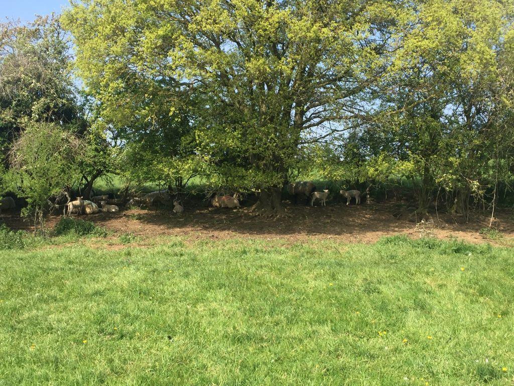 Sheep resting under trees, Bancroft, 27.04.20, 1230