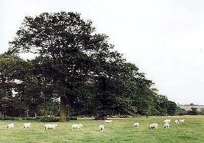 Long-plantation